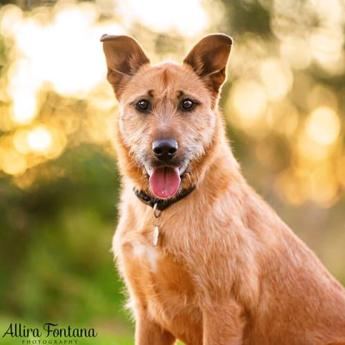 Crumpett  - German Shepherd x Wolfhound Dog