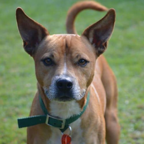 Marshall - Chihuahua x Staffordshire Bull Terrier Dog