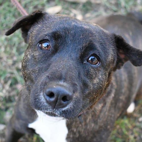 Promise 31640 Campbelltown ACF - Staffy Dog