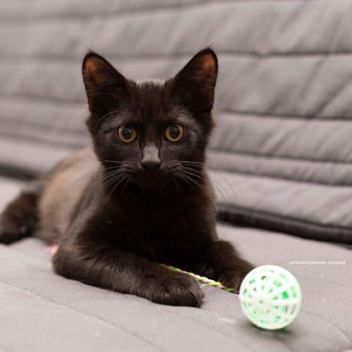 Shadow - Domestic Medium Hair Cat