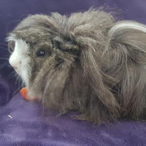 Humphry - Sheltie Guinea Pig