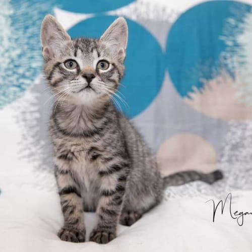 Pepper  - Domestic Short Hair Cat