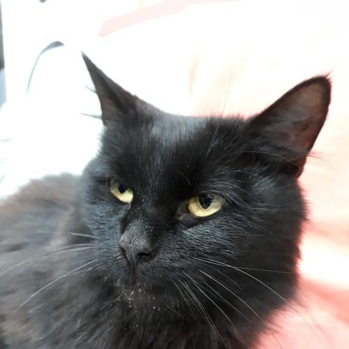 Kentucky - Domestic Medium Hair Cat