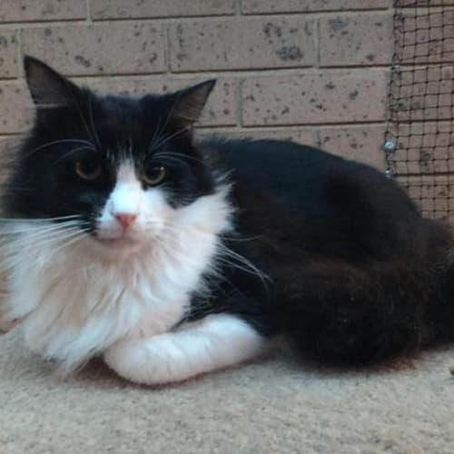 Stefan - Domestic Medium Hair Cat
