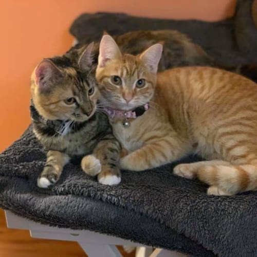 Mish and Aurora - Domestic Short Hair Cat