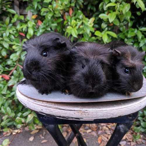 Sesame, Soy and Plum - Crested Guinea Pig