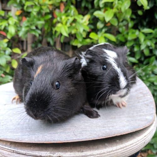 Honey + Maple - Crested Guinea Pig