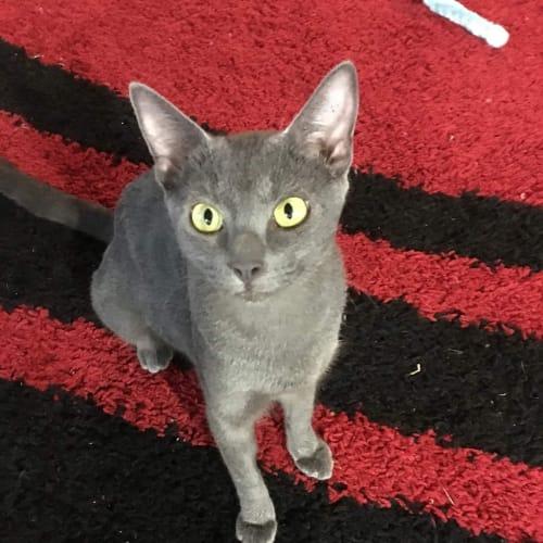 Endora - Oriental Cat