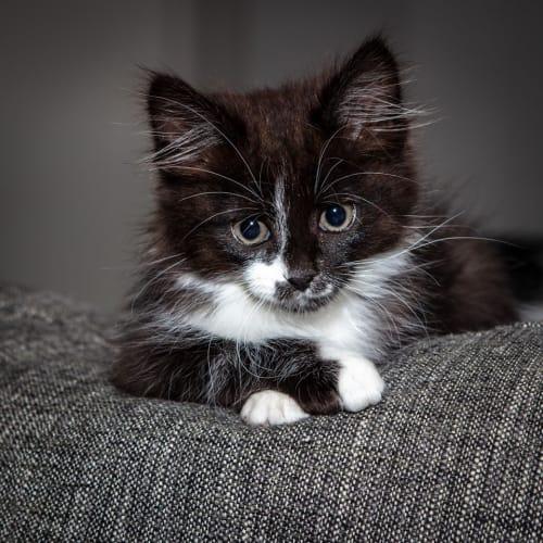 1063 - Dingo - Domestic Medium Hair Cat