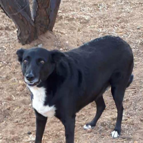 Nicola - Border Collie x Cross breed Dog