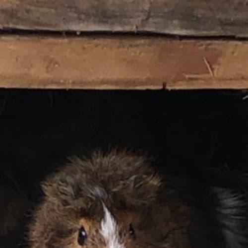 Betty - Guinea Pig