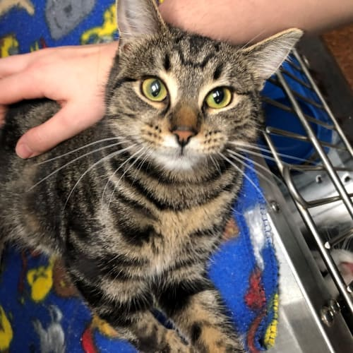 Toblerone - Meet me at Vets in Endeavour Hills - Domestic Short Hair Cat