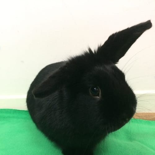 Roger - Dwarf lop Rabbit