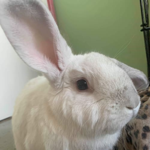 Elsa - Flemish Giant Rabbit