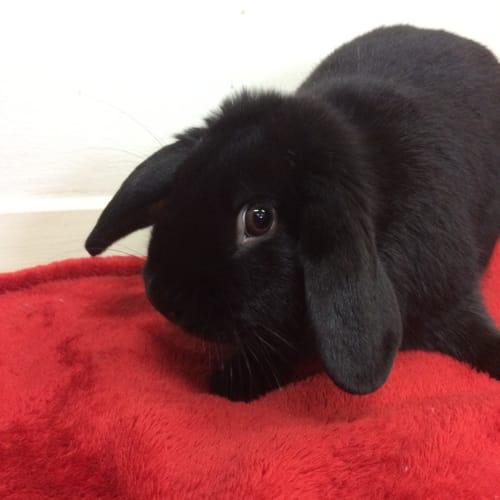 Peter - Dwarf lop Rabbit