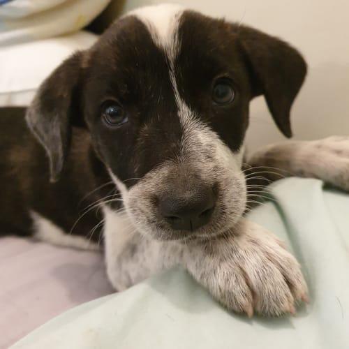 Chewy  - Kelpie Dog