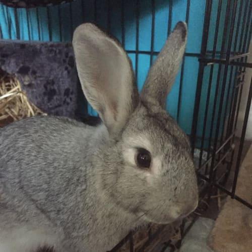 Murphy - Lop Eared Rabbit