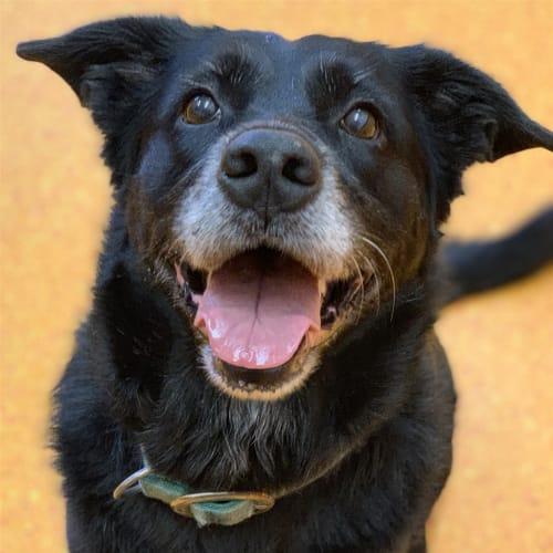 Boo - Border Collie x Labrador Retriever Dog