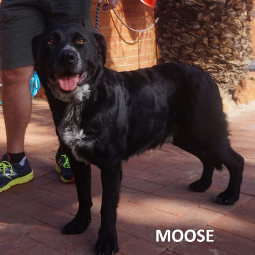 Moose - Curly Coated Retriever x Rottweiler Dog