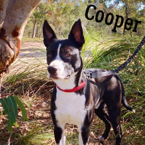 Cooper - American Staffordshire Bull Terrier Dog