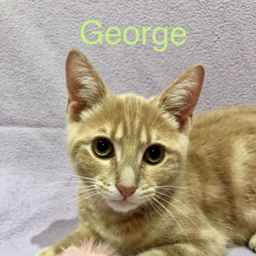George - Domestic Short Hair Cat