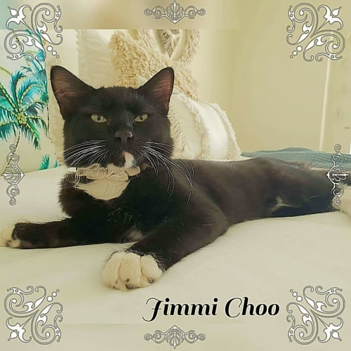 Miss Jimmi Choo - Domestic Medium Hair Cat