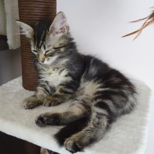 Sweet Trixie - Domestic Medium Hair Cat
