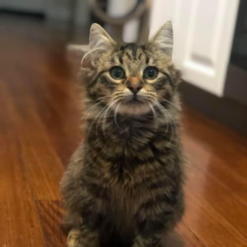 Pongo (located in Cheltenham Cat Rescue) - Domestic Medium Hair Cat