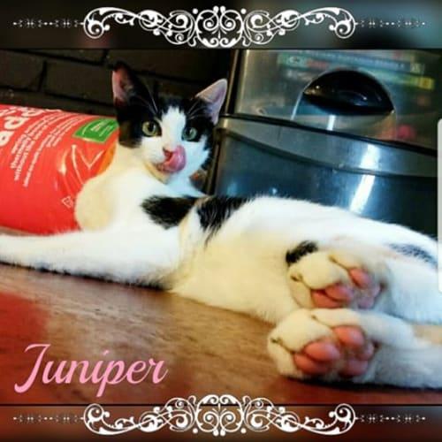 Juniper - Domestic Short Hair Cat
