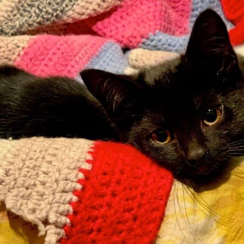Nina - Domestic Short Hair Cat