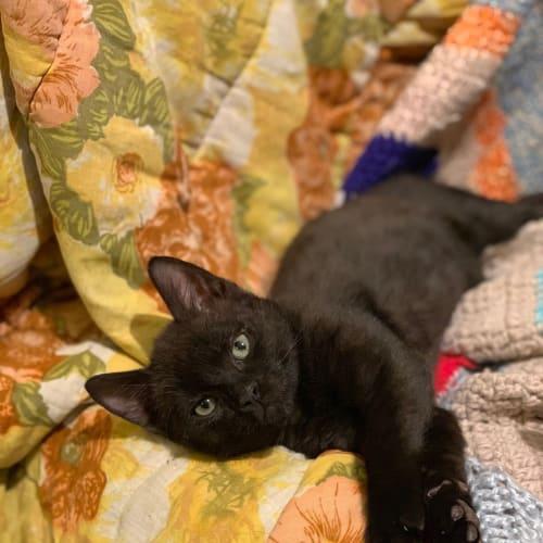 Isaiah - Domestic Short Hair Cat
