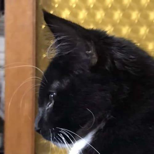 Bran.  - Domestic Short Hair Cat