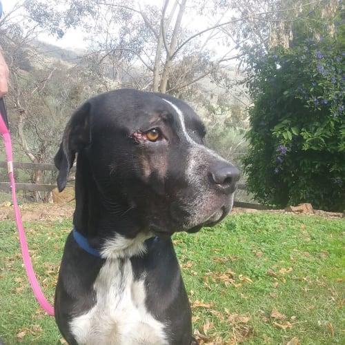 Dominic - Great Dane Dog