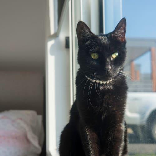Petal - Domestic Short Hair Cat