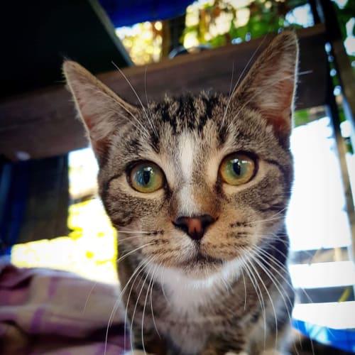 Sarah - Domestic Short Hair Cat