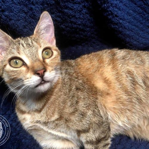 Tater - Domestic Short Hair Cat