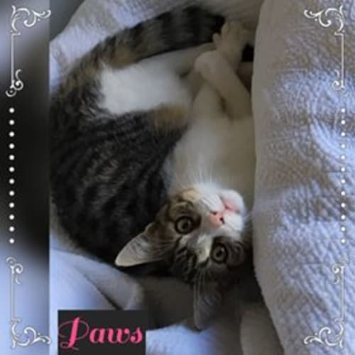 Paws - Domestic Short Hair Cat