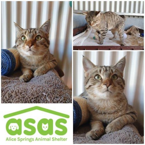 Pleakley   CT19-151 - Domestic Short Hair Cat