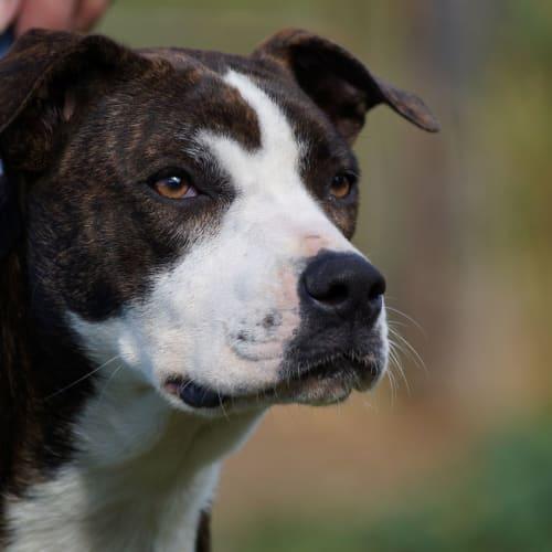 Chilli - Cross breed Dog