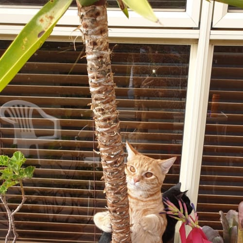 Kayleigh (Located in Bentleigh) - Domestic Short Hair Cat