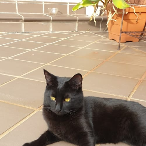 Jaxson (Located in Bentleigh) - Domestic Short Hair Cat