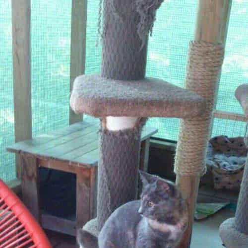 Fawn - Domestic Short Hair Cat