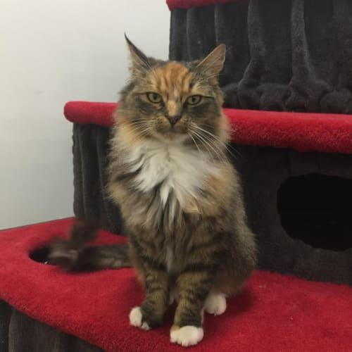 Lilly - Meet me at Neko HQ in Preston - Domestic Short Hair x Norwegian Forest Cat