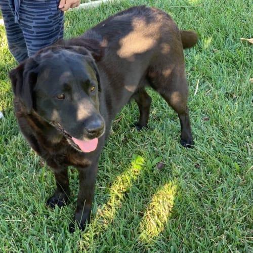 Dime & Maxine - Labrador Dog