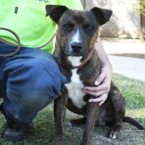 Axel 31643 Campbelltown ACF - Staffy Dog