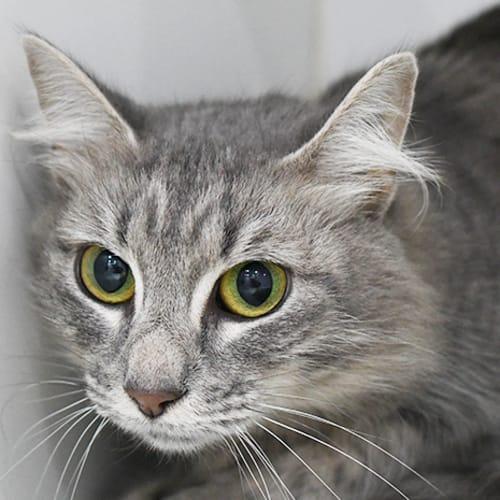 Boots 7534 Campbelltown ACF - Domestic Medium Hair Cat