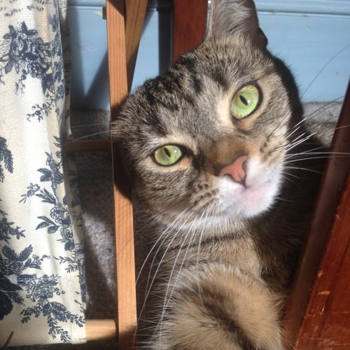 Kay (Located in Yarraville) - Domestic Short Hair Cat