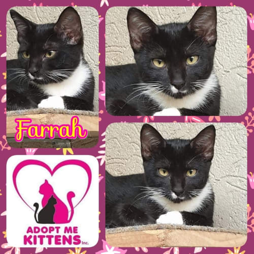 Farrah - Domestic Short Hair Cat