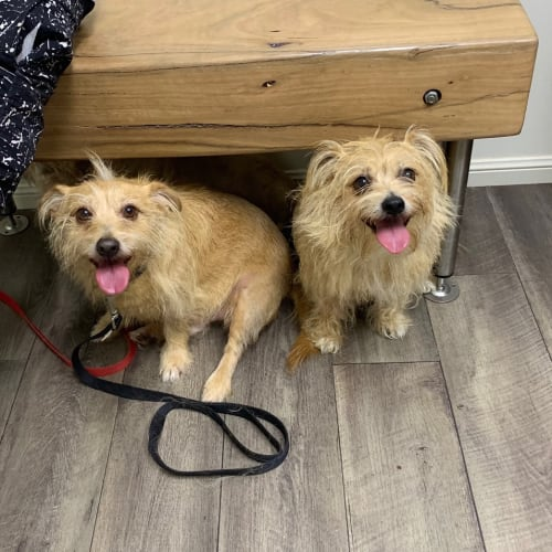 Chocko and Bruiser - Chihuahua x Silky Terrier x Bichon Frise Dog