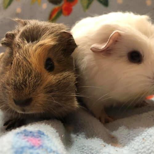 Eliana and Elidi - Smooth Hair Guinea Pig